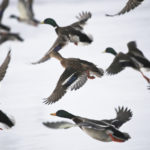 Wild geese fly over the frozen lake at Castle Howard