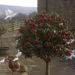 A holly bush outside the Barns