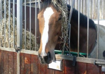 Racehorse in rest
