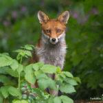 fox-credit-steve-race_yorkshire-coast-nature_25792589661_o