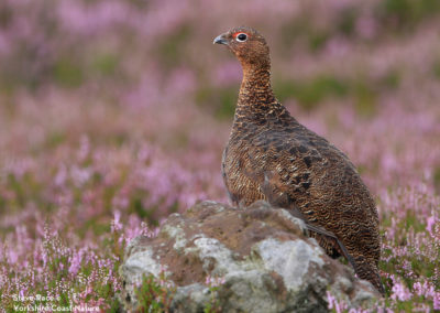 GROUSE ON THE NORTH YORK MOORS