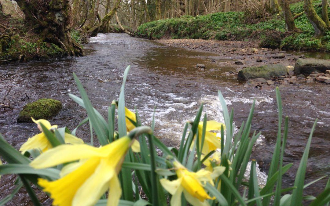 Farndale's Famous Daffodil Walk