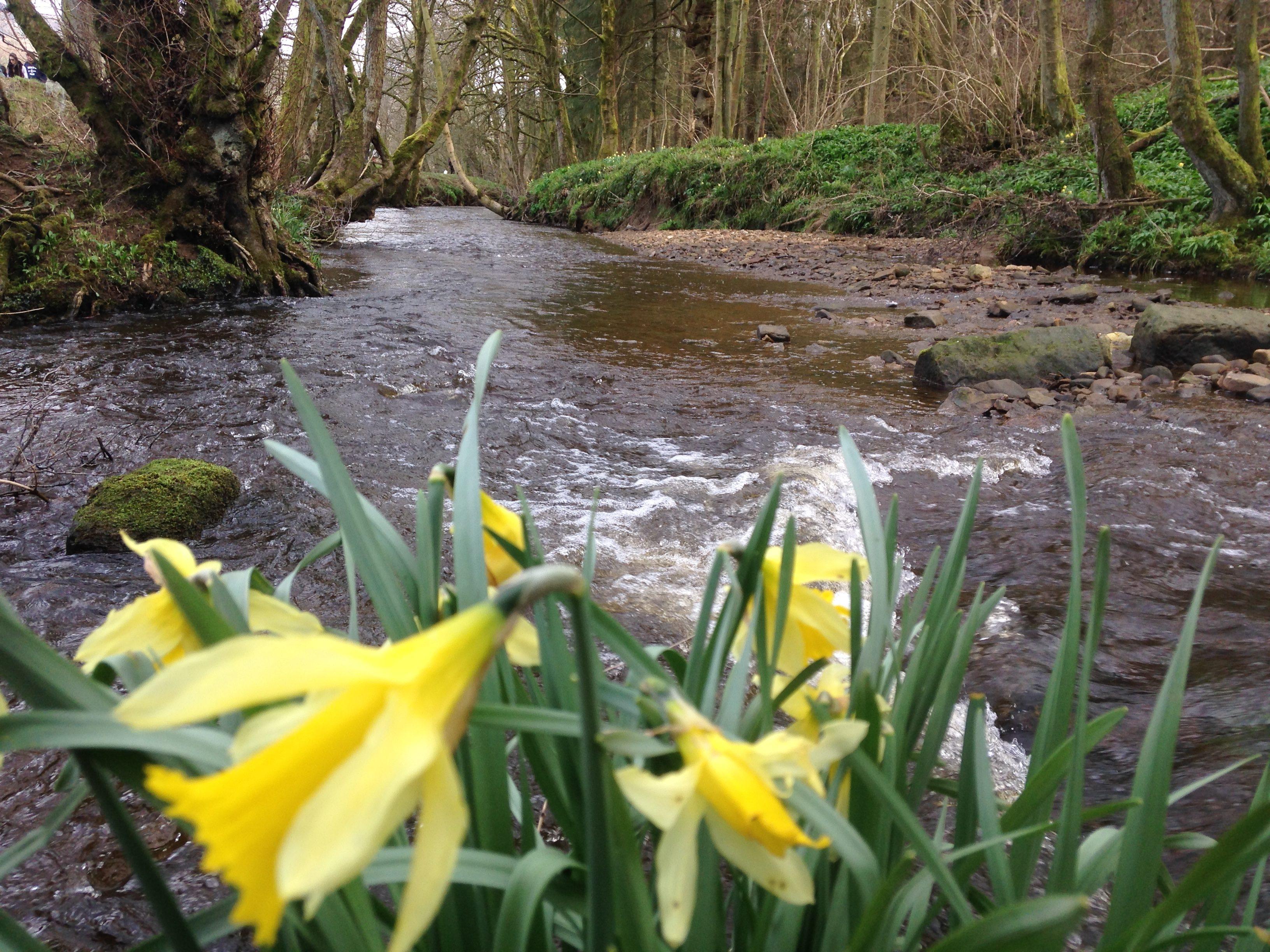 Daffodils in Farndale