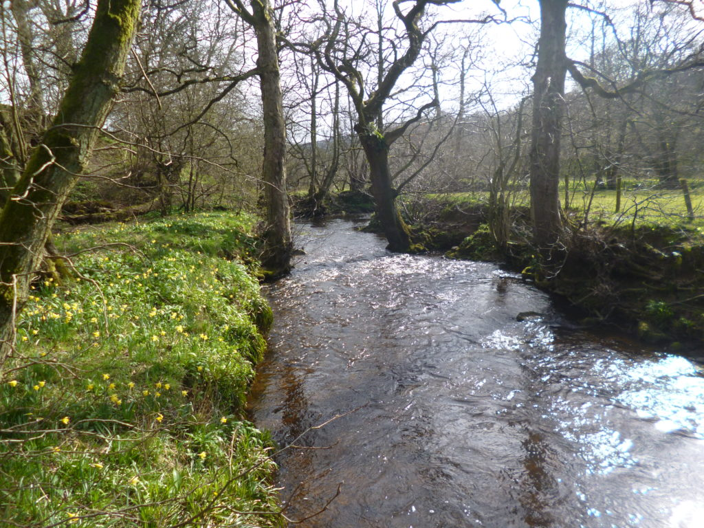 Farndale's River Dove banks awash with wild daffodils