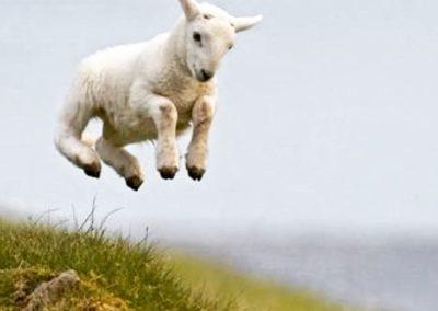 leaping lamb at Crag House Farm