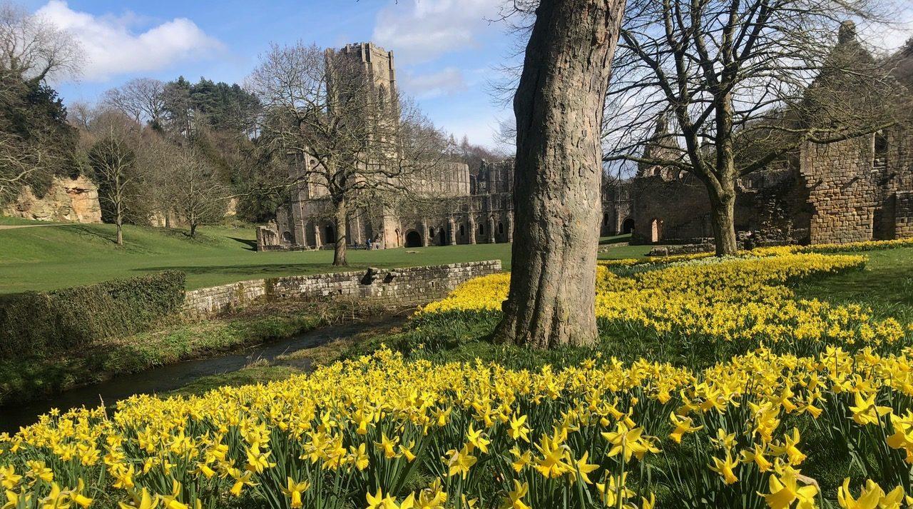 Farndale's River Dove banks awash with wild daffodils